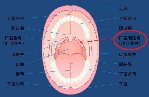 舌背. 下顎歯弓. 下唇小帯. 下唇.